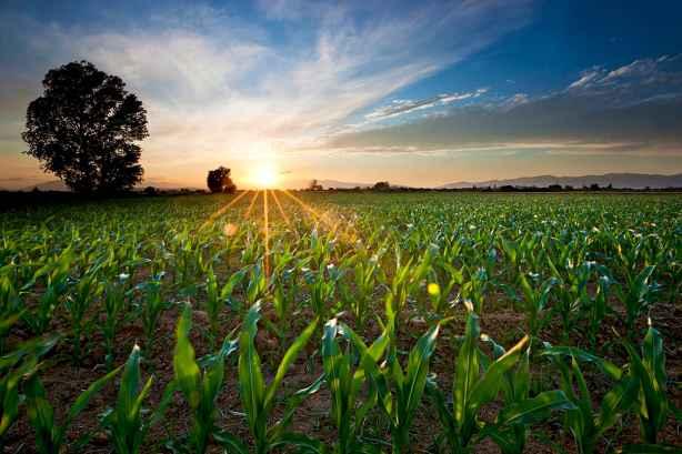 corn ideal ph
