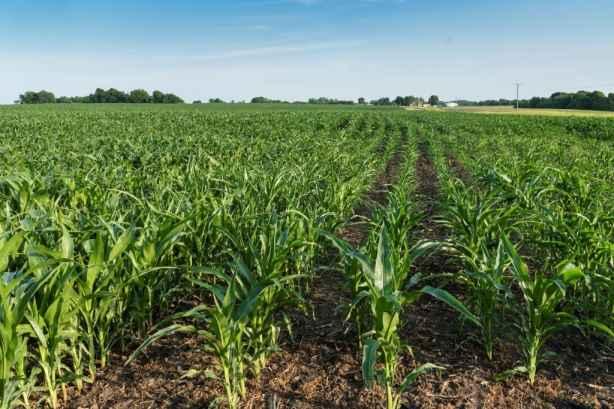 corn suitable ratio